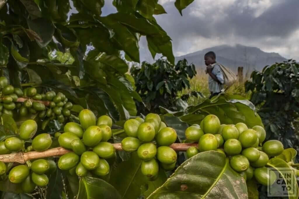 кафе-арабика-плодове